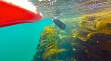 Kayak Kelp