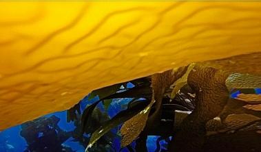 CA Kelp