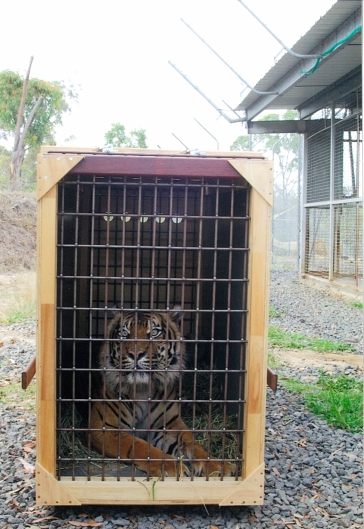 Harri is being transferred to the Perth Zoo in Western Australia, where a mate awaits him. With fewer than 500 Sumatran Tigers left in the world, every breeding opportunity is precious. I feel proud of myself for helping. Go gettem Tiger :)