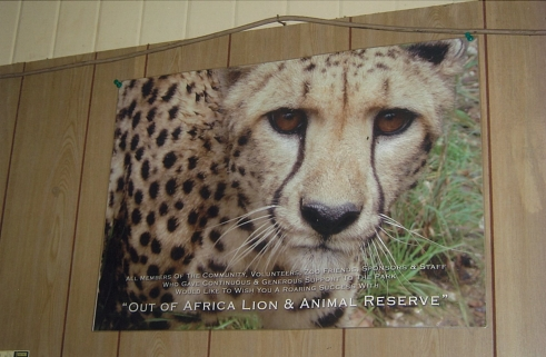 Poster for sale at the zoo gift shop. Photo of Zeke, the male cheetah by: Michael Wysocki